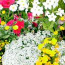花のフリー(無料)背景、写真素材(ダウンロード03)