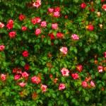 花のフリー(無料)背景、写真素材(ダウンロード04)