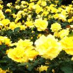 花のフリー(無料)背景、写真素材(ダウンロード05)
