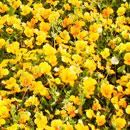 花のフリー(無料)背景、写真素材(ダウンロード12)