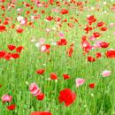花のフリー(無料)背景、写真素材(ダウンロード18)