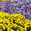 花のフリー素材(無料ダウンロード20)