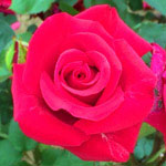 花のフリー素材(無料ダウンロード31)