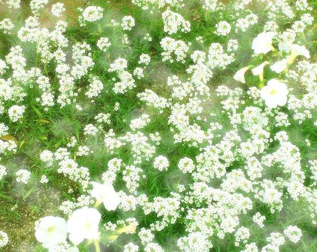 きれいな彩りの花の画像-02(フリー画像)