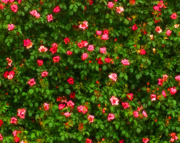 きれいな彩りの花の画像-04(フリー画像)