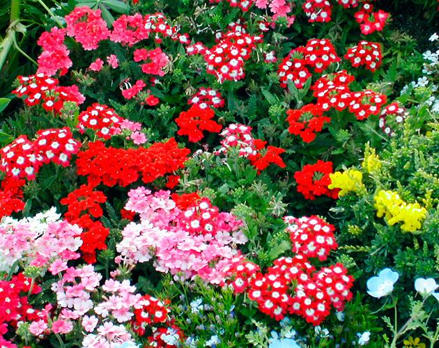 きれいな彩りの花の画像-17(フリー画像)