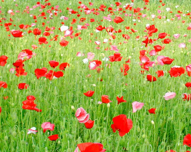 きれいな彩りの花の画像-18(フリー画像)