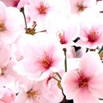 桜のフリー写真素材(ダウンロード01)