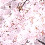 桜のフリー写真素材(ダウンロード03)