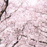 桜のフリー写真素材(ダウンロード05)