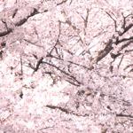 桜のフリー写真素材(ダウンロード06)