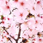 桜のフリー写真素材(ダウンロード07)