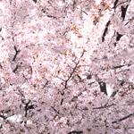 桜のフリー写真素材(ダウンロード08)