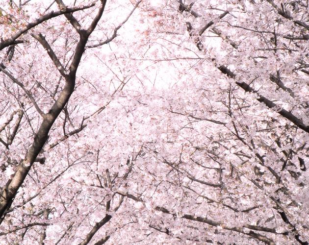 桜の写真-05(フリー素材)